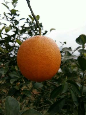 重庆万州区黄柠檬 1.6 - 2两