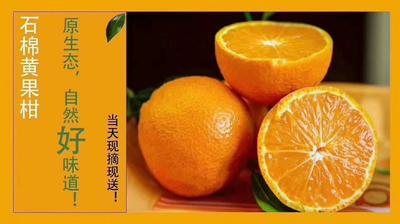 四川省雅安市石棉县黄果柑 5.5 - 6cm 2 - 3两
