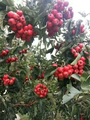 这是一张关于甜红子山楂苗 的产品图片