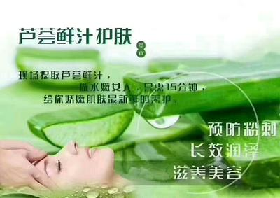 河南省周口市川汇区库拉索芦荟 16~18cm