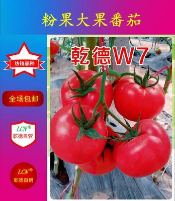 山东省潍坊市寿光市粉大果乾德W7 ≥96% 杂交种 ≥85%