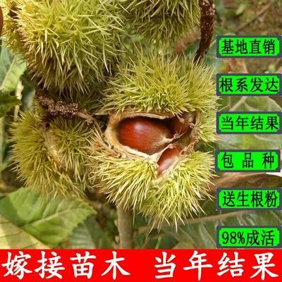 这是一张关于大红袍板栗苗 嫁接苗 1.5~2米 的产品图片
