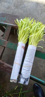云南省红河哈尼族彝族自治州弥勒市弥勒韭黄 头茬 50~60cm
