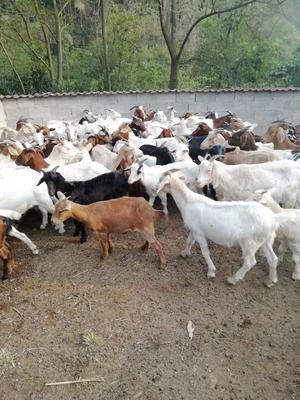 这是一张关于波尔山羊 30-50斤 的产品图片