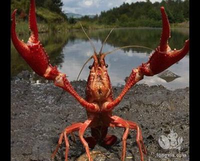这是一张关于刁汊湖小龙虾 4-6钱 人工殖养 的产品图片