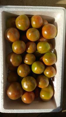 山东省威海市文登区普罗旺斯番茄 精品 弧二以上 硬粉