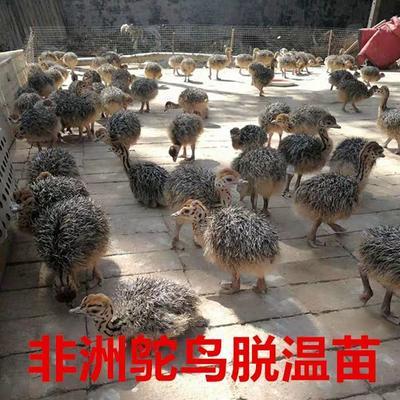 江西省南昌市南昌县驼鸟活体苗  鸵鸟苗