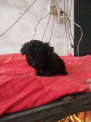 安徽省宿州市埇桥区泰迪犬