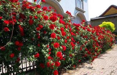 河南省南阳市宛城区爬蔷薇