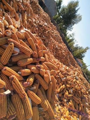 内蒙古自治区赤峰市巴林左旗玉米湿粮 杂质很少 水份20%-30%