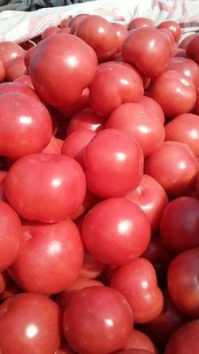 河北省邯郸市肥乡县硬粉番茄 精品 弧三以上 硬粉