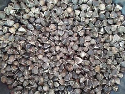 这是一张关于印度辣木籽 的产品图片