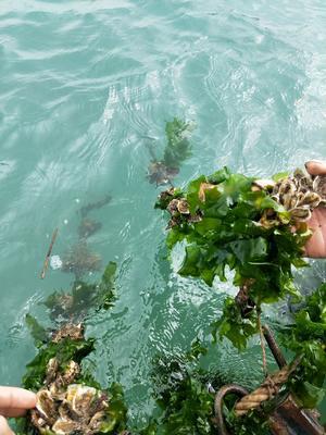 这是一张关于福建生蚝 人工殖养 3-4两/只 的产品图片