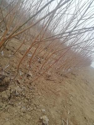 这是一张关于嫁接桃树苗 1~1.5米 的产品图片