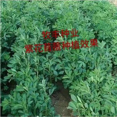 山东省济宁市嘉祥县紫花苜蓿  紫花苜蓿种子