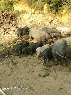 广西壮族自治区贺州市钟山县藏香猪 80斤以上