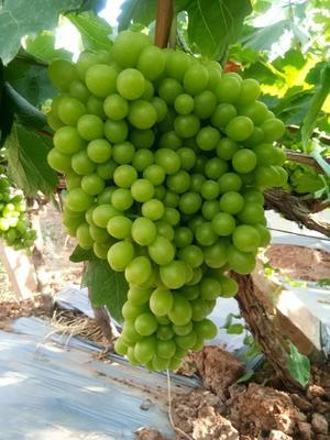 浙江省温州市鹿城区青提 1-1.5斤 5%以下 1次果