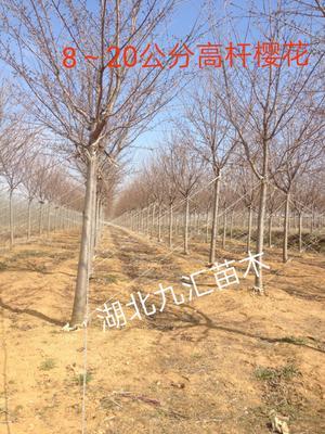 湖北省武汉市武昌区高干樱花 3~3.5米 14~16公分 早樱 晚樱
