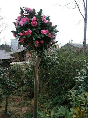 广西壮族自治区桂林市全州县茶花树 100~140cm