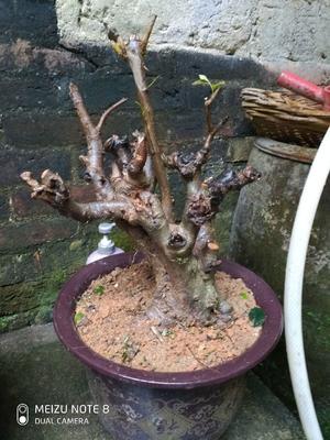 广东省肇庆市德庆县紫藤下山桩  是柃木树有心要请电