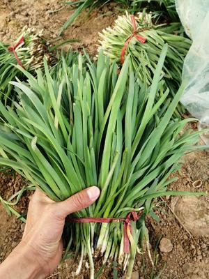 河南省焦作市孟州市大叶韭菜 头茬 30~35cm