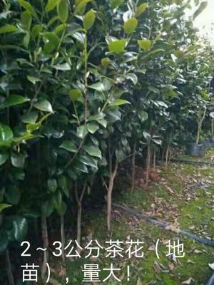 广西壮族自治区桂林市雁山区茶花树 80~100cm