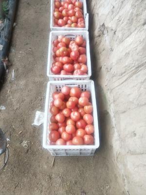 河南省开封市兰考县硬粉番茄 通货 弧二以上 硬粉
