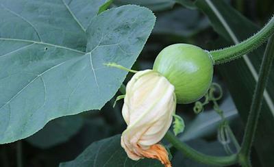 这是一张关于小南瓜 1斤以下 的产品图片