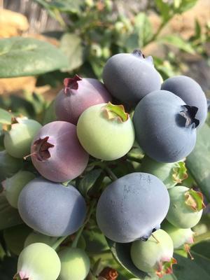 这是一张关于蓝丰蓝莓 12 - 14mm以上 鲜果 的产品图片