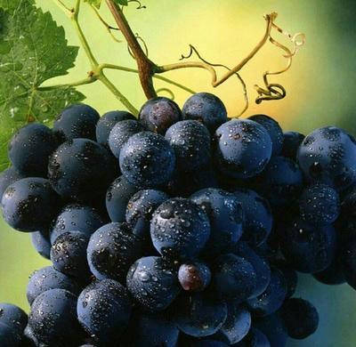 这是一张关于夏黑葡萄苗 的产品图片