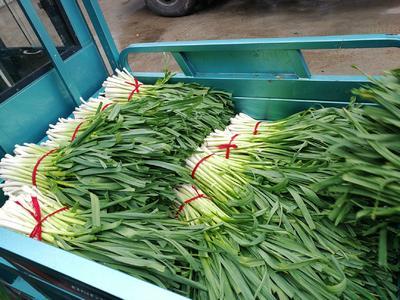这是一张关于红根蒜苗  40 - 45cm 净菜的产品图片