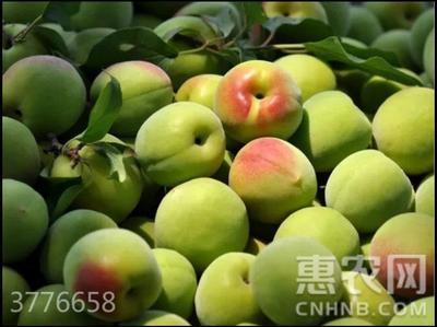 广东省梅州市大埔县大青梅 40-45g