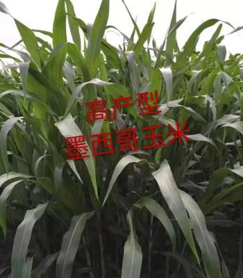 山东省济宁市嘉祥县墨西哥玉米草  墨西哥玉米种子