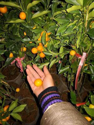 这是一张关于金桔苗  盆栽盆景的产品图片