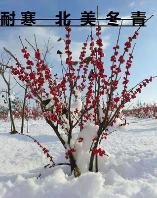 辽宁省丹东市振兴区北美冬青