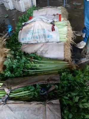 云南省玉溪市通海县香芹 60cm以上 0.5斤以下 露天种植