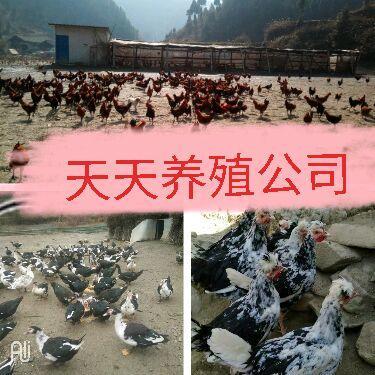 贵州省铜仁市江口县土鸡 3-4斤 公