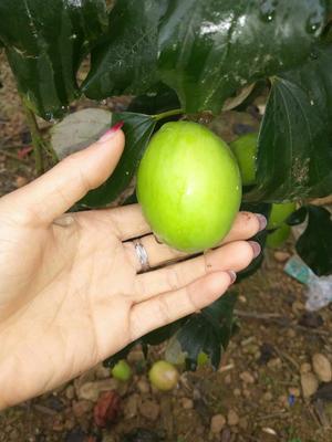 这是一张关于台湾青枣 直口 10-20g 的产品图片