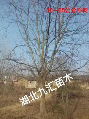 湖北省武汉市武昌区丛生朴树