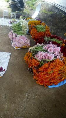 这是一张关于非洲菊 的产品图片
