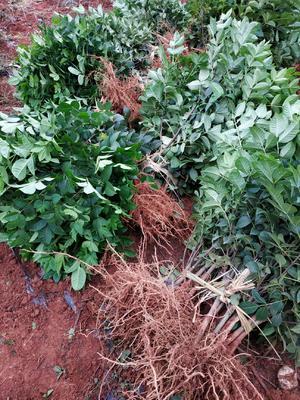 这是一张关于吴茱萸苗 的产品图片
