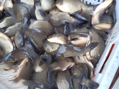 重庆璧山区池塘鳊鱼 人工养殖 1-1.5公斤