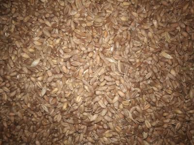 甘肃省天水市秦州区普通小麦