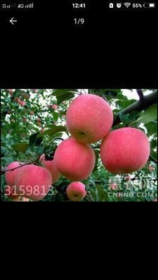 山东省烟台市莱州市红富士苹果 85mm以上 条红 纸袋