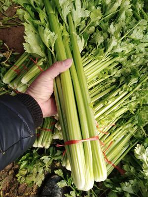 山东省济宁市金乡县西芹 60cm以上 0.5~1.0斤 大棚种植