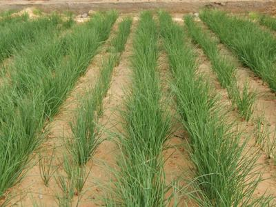 这是一张关于沙葱 的产品图片