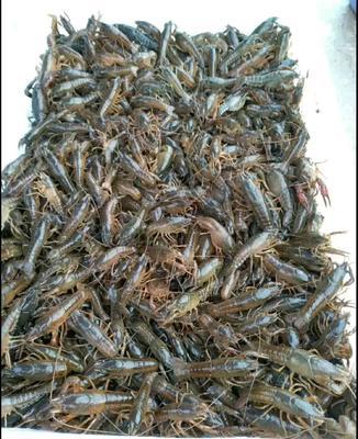 这是一张关于沅江小龙虾 9钱以上 稻田虾 的产品图片