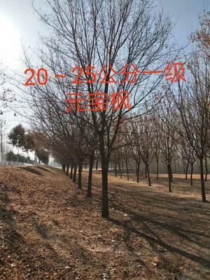 湖北省武汉市武昌区三角枫  五角枫、元宝枫、红枫