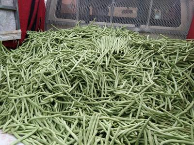 四川省凉山彝族自治州会理县白花四季豆 12cm以上