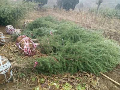 河南省三门峡市卢氏县造型松树